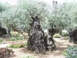Mt. Olives - Olive Tree