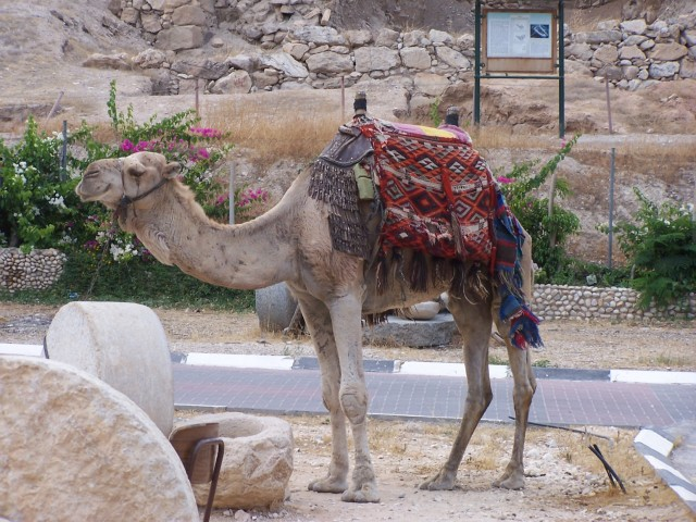 Jericho - Camel waiting for a rider