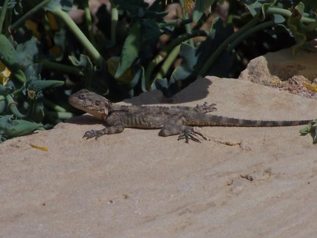 Ceaserea - Lizard
