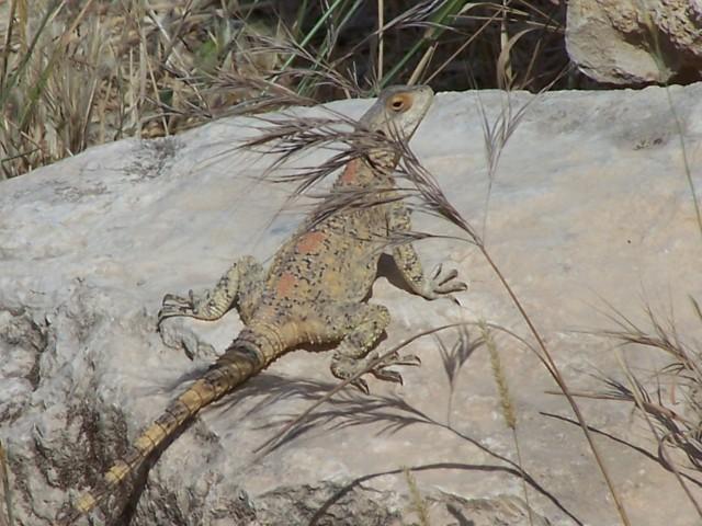 Gadara - Lizard