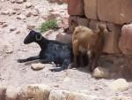 Petra - Goat