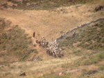 Sheep near Jerusalem